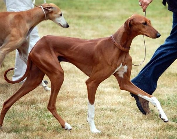 perro de raza Azawakh
