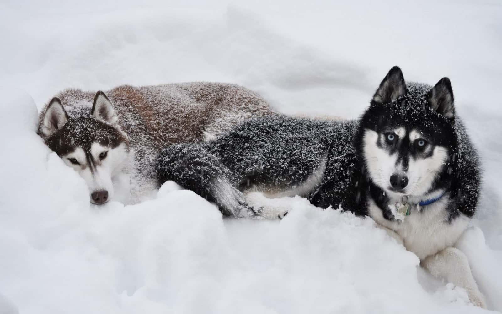 alaska-malamute