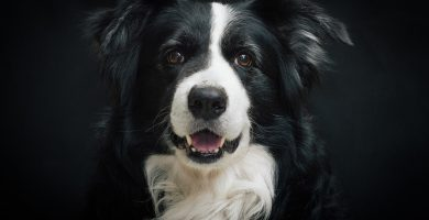 Raza de perro mediano border collie caracteristicas colores