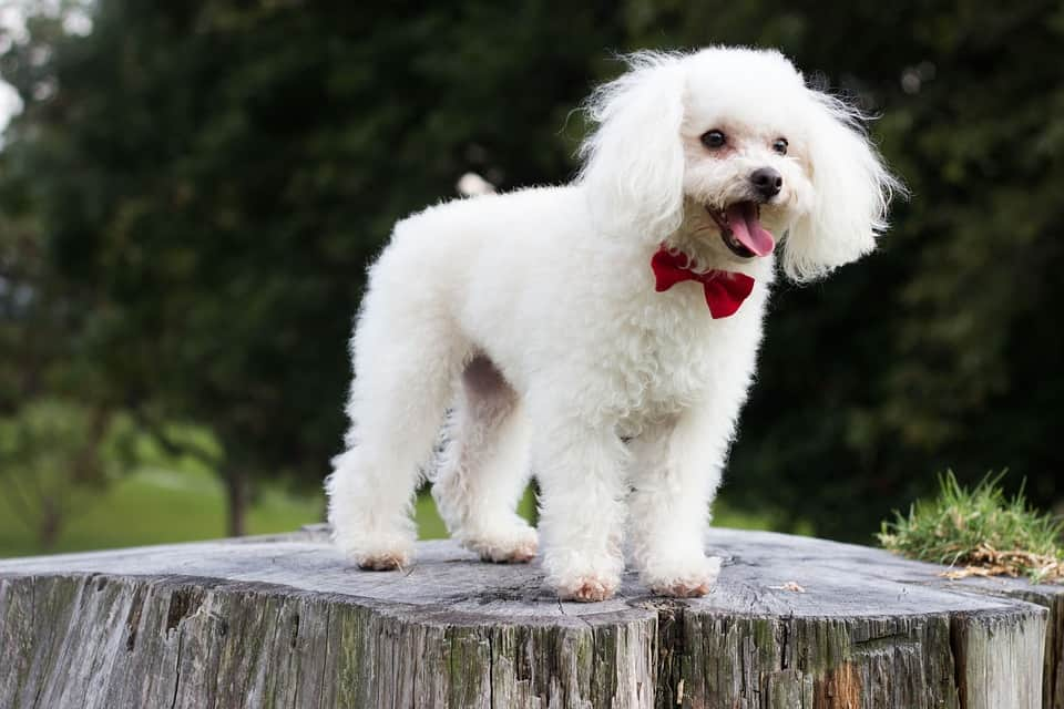 caniche-poodle