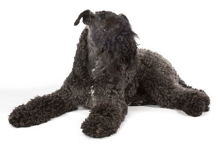 kerry-blue-terrier