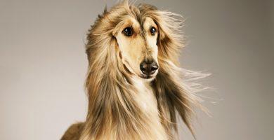 Afghan greyhound