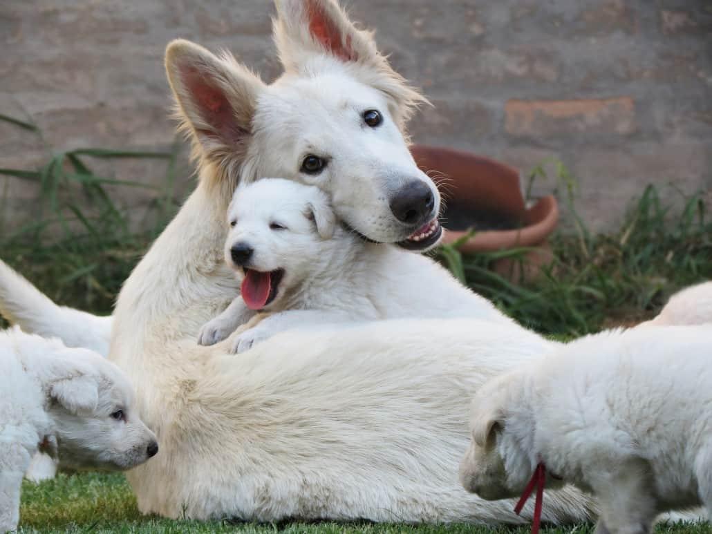 pastor-aleman-blanco