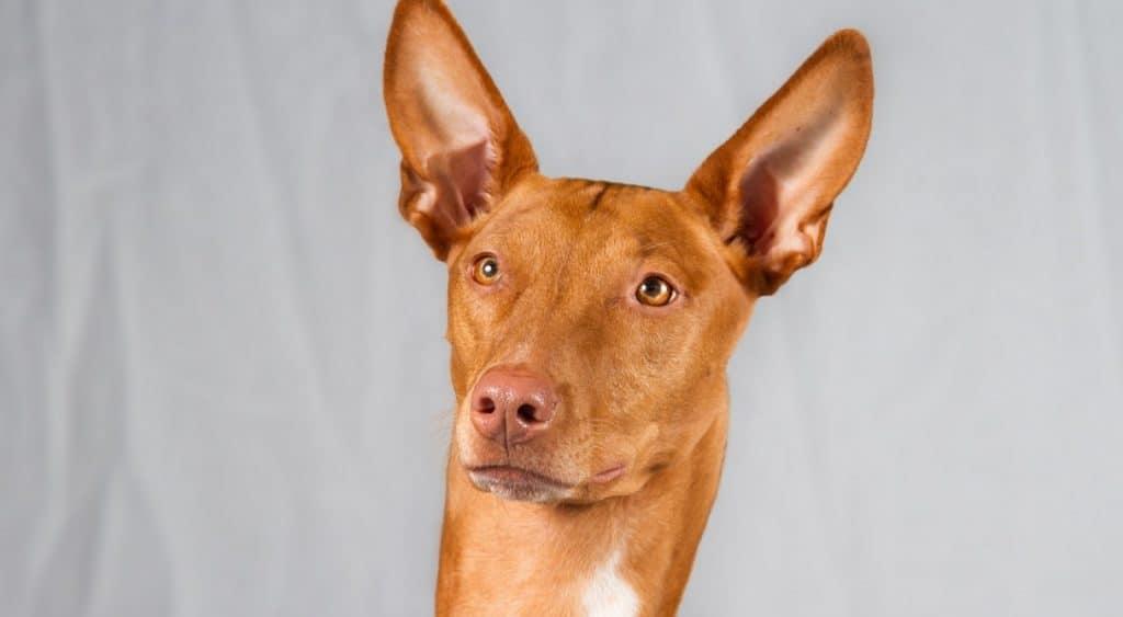 perro-faraones