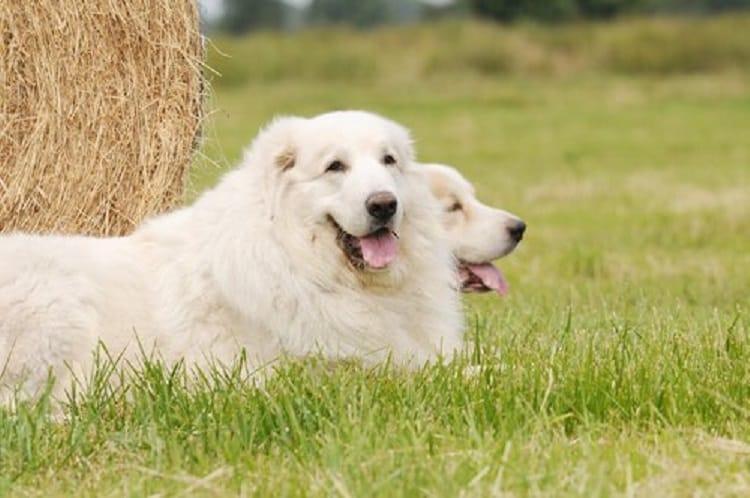 perro-pirineos