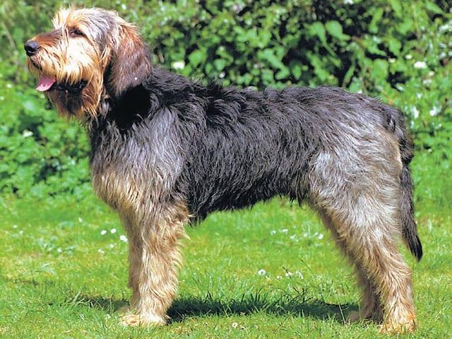 perro-de-nutria