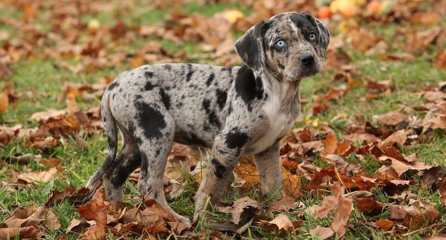 Catahoula-Leopard-hound