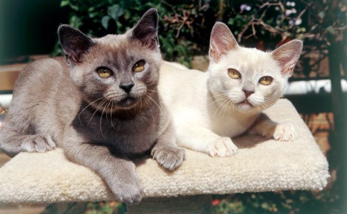 gato-burmes