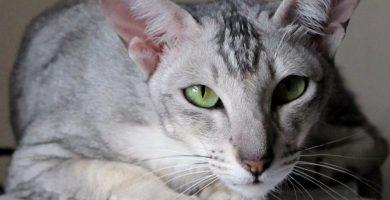 gato-oriental-pelo-corto