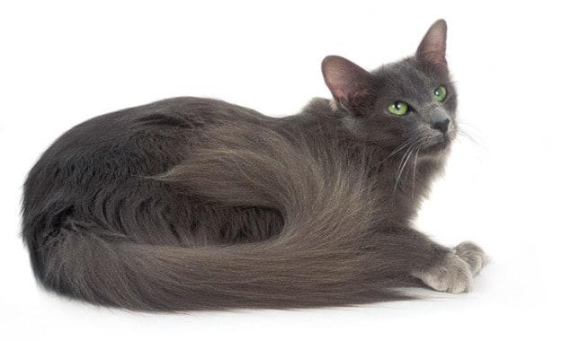 gato-oriental-pelo-largo