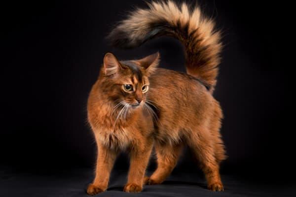 gato-somalí