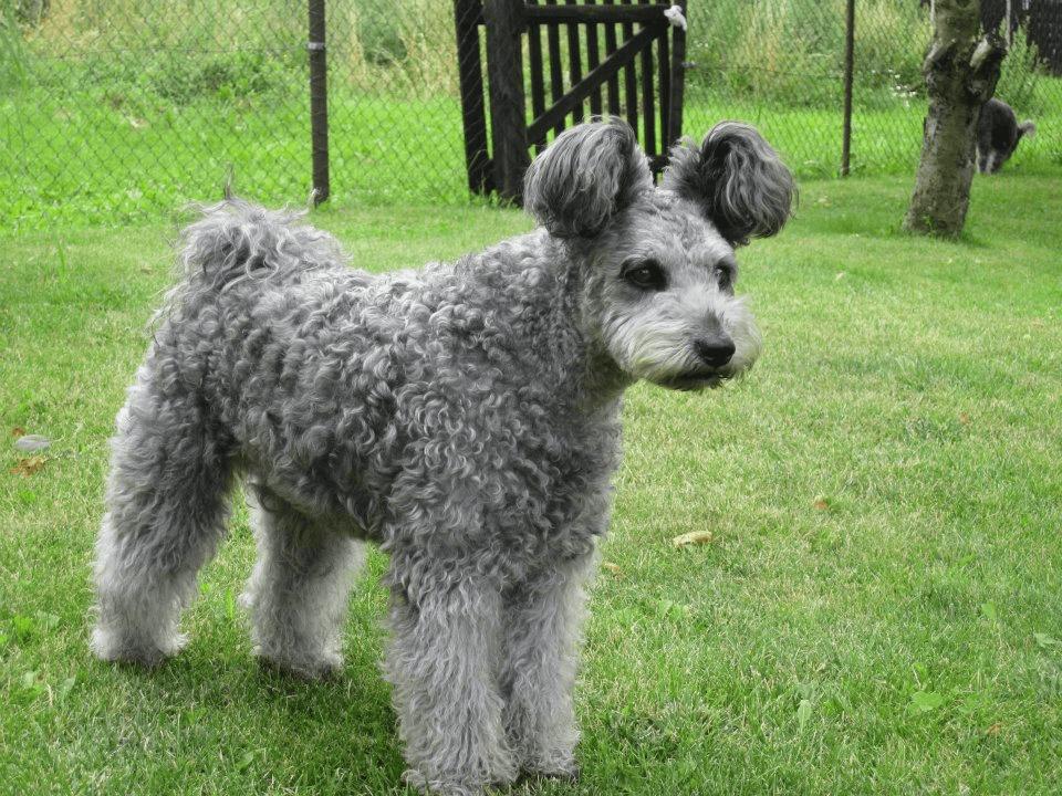 perro-pumi