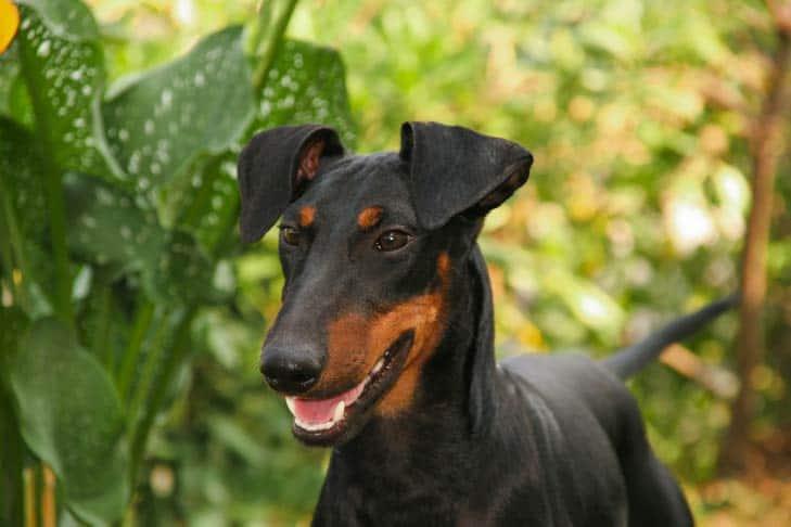Manchester-terrier