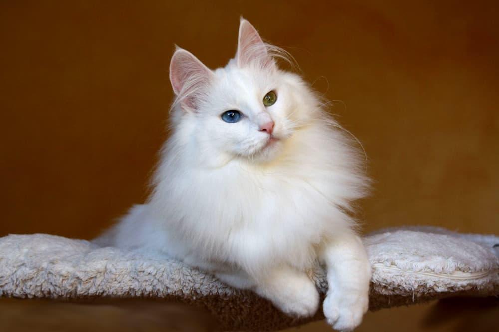 gato-angora-turco