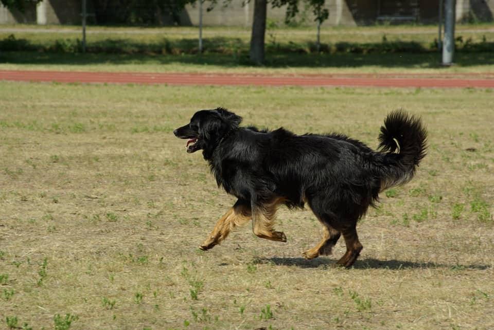 perro hovawart