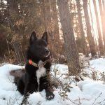 Buhund-noruego