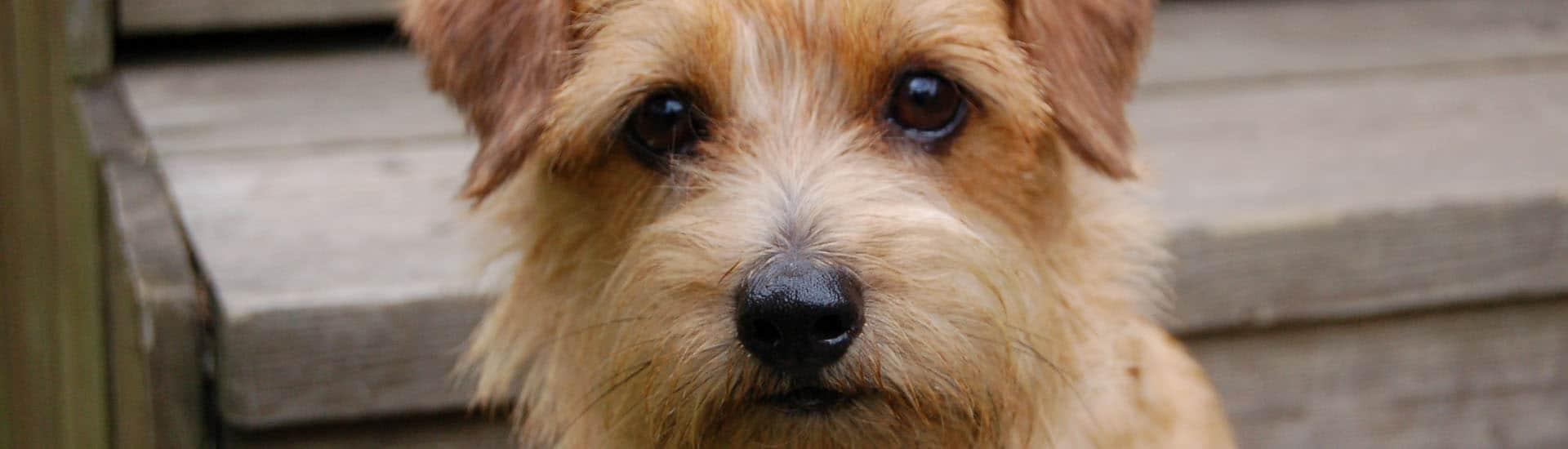 Terrier-de-Norfolk