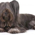 Skye-Terrier