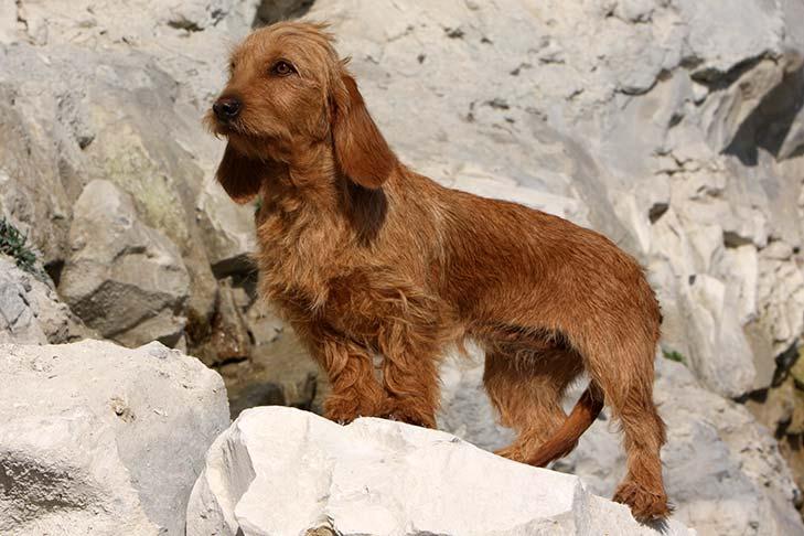 basset-leonado-de-bretana