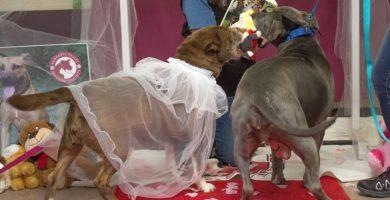 perros-casados