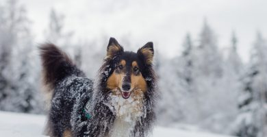 roughcollie