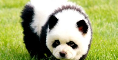 Chow-Chow-Panda