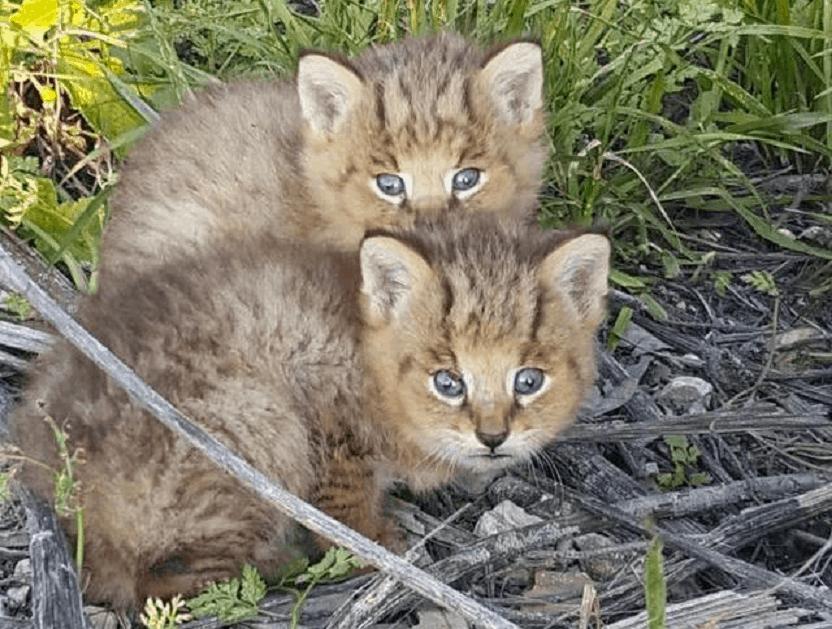 gato-de-la-jungla