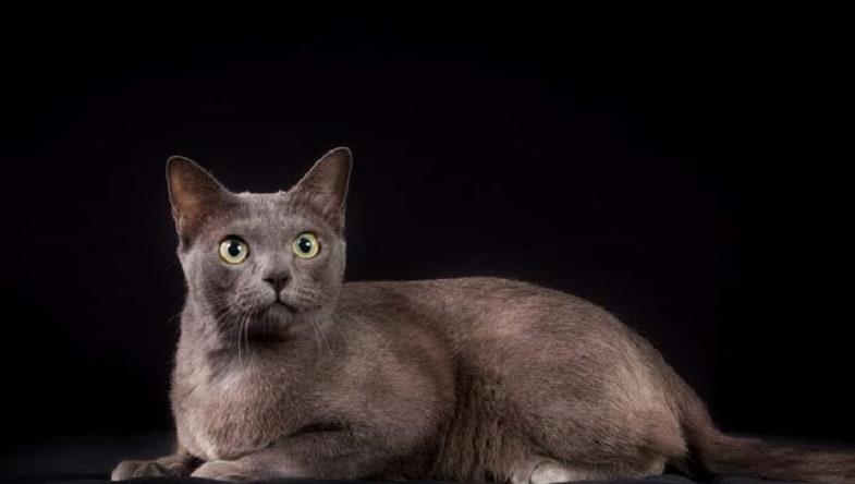 raza de gato korat