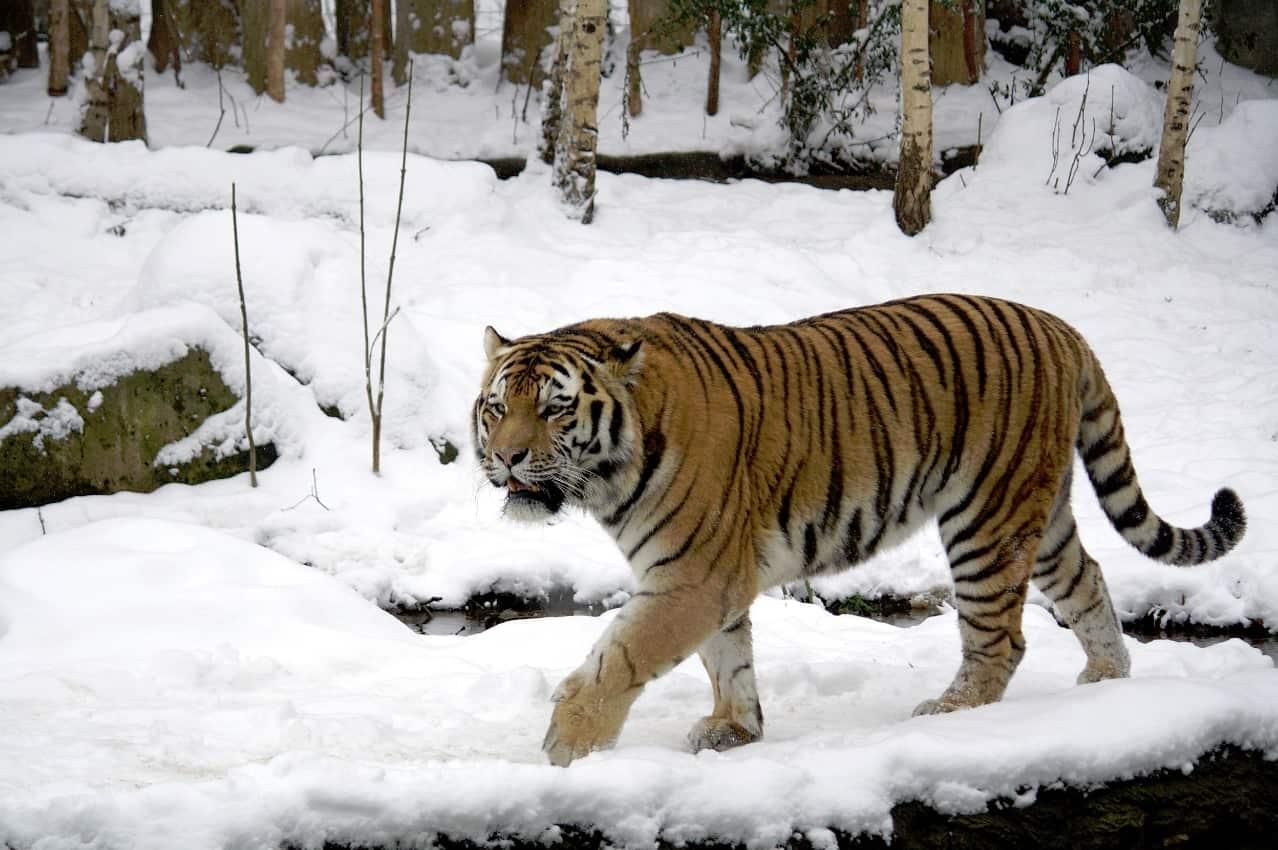 tigre-del-caspio