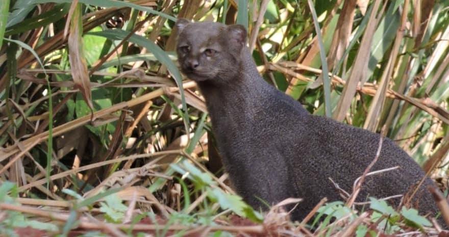 Yaguarundi cat