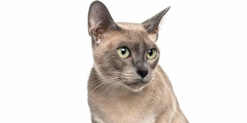 gato-tonkines