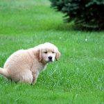 perro-diarrea