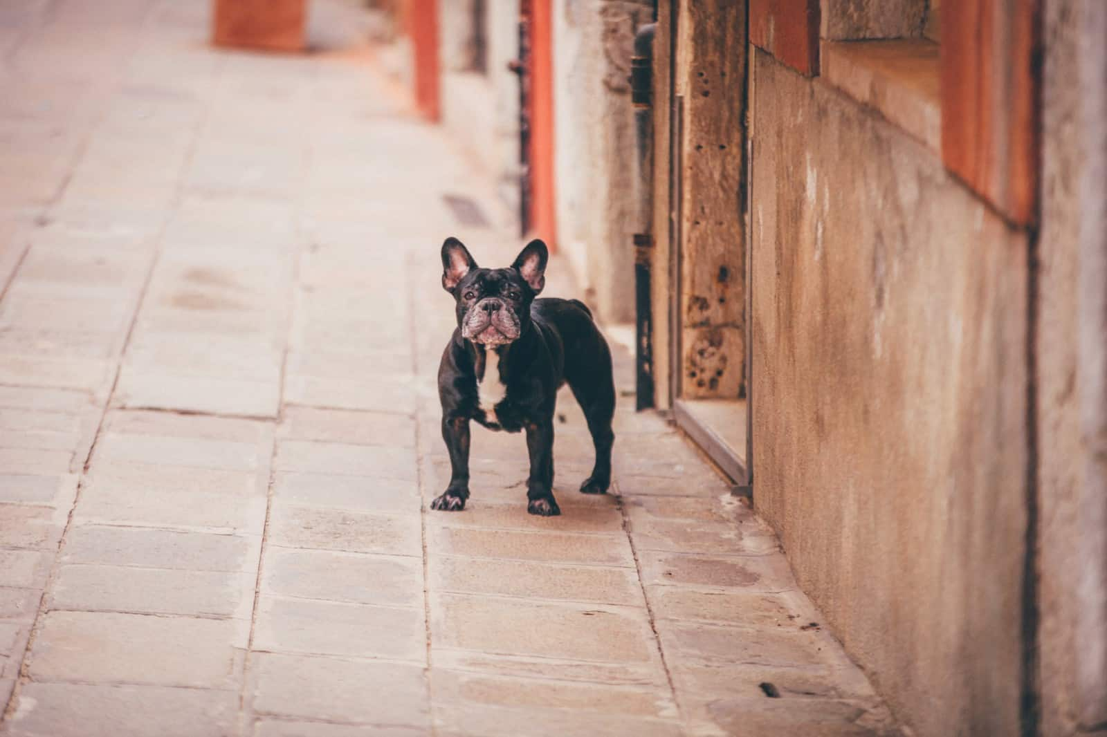 Bulldog-Frances
