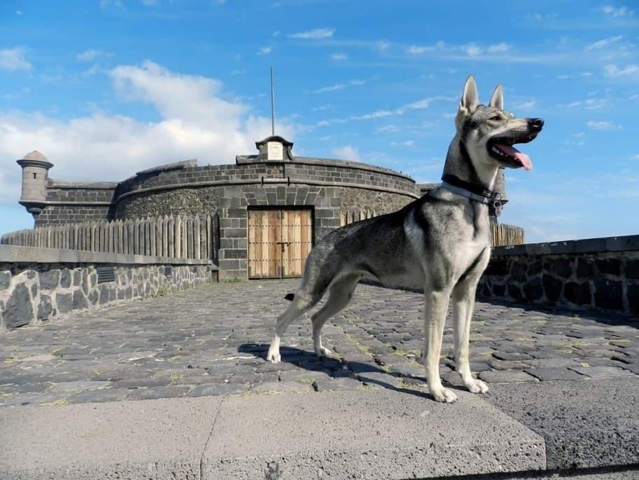 Perro-Lobo-Herreno