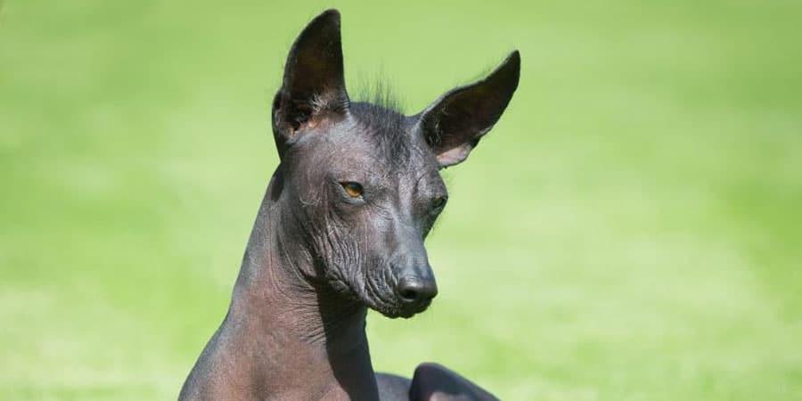 perro sin pelo peruano