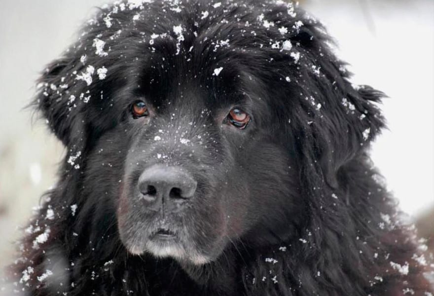 perro Terranova