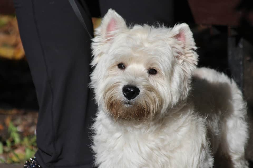 West-Highland-White-Terrier6