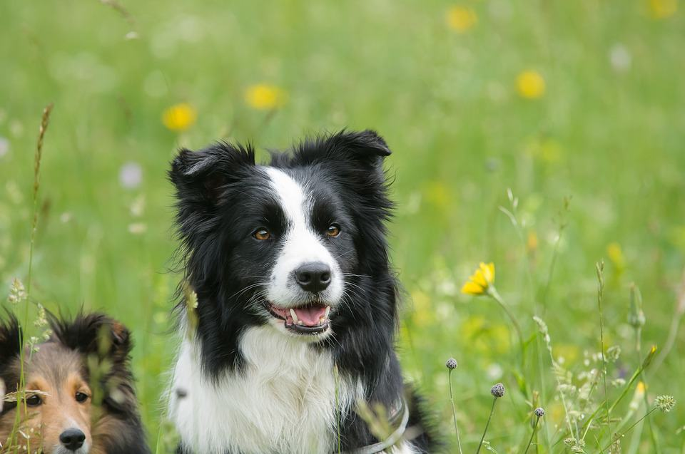 Border Collie: Tu nueva mascota