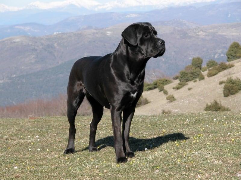 cane-corso