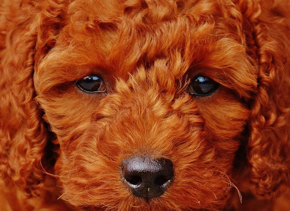 caniche-poodle