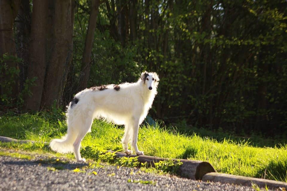 borzoi perro