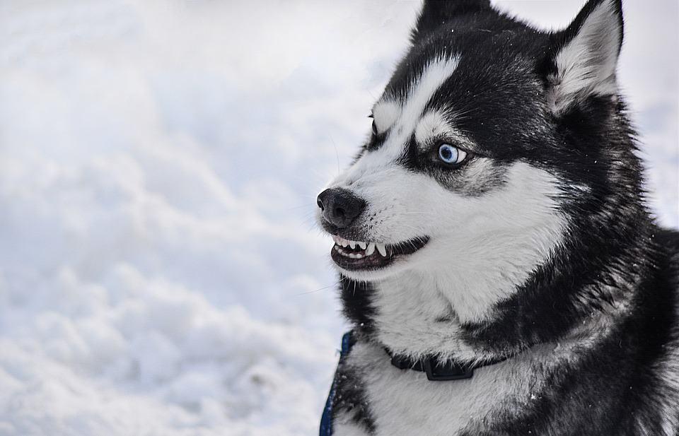 husky-siberian