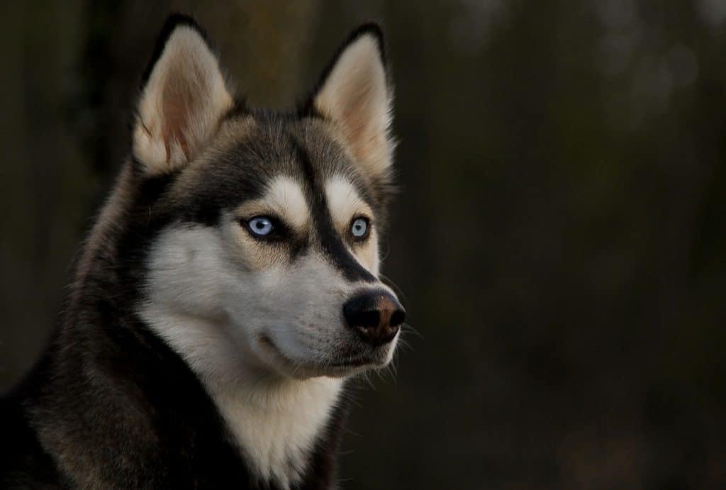 husky-siberiano