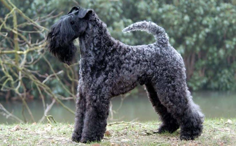 kerry-blue-terrier
