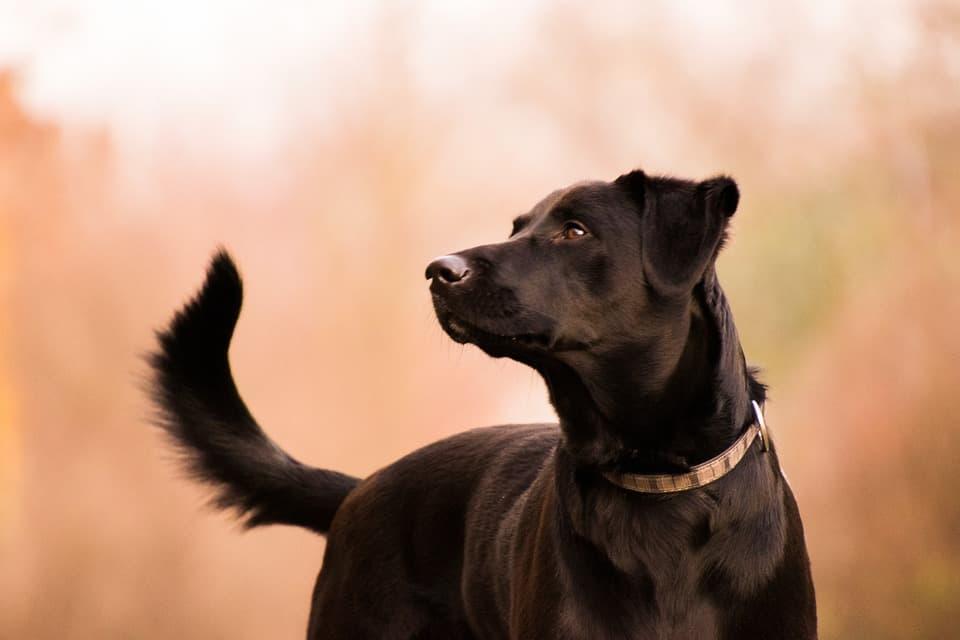labrador-negro