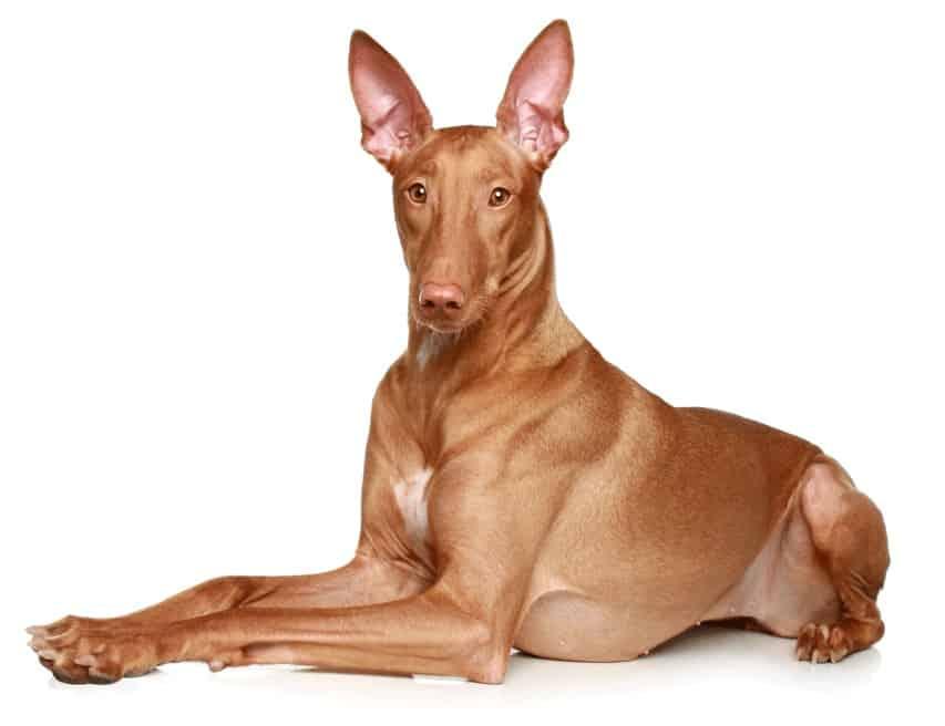 perro de los faraones