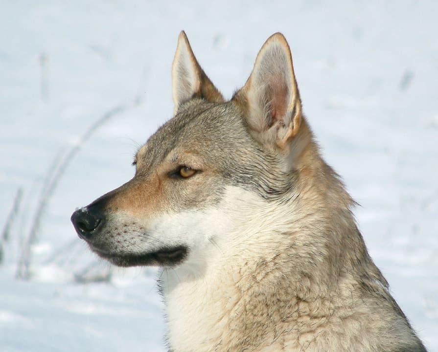 perro-lobo-cheko