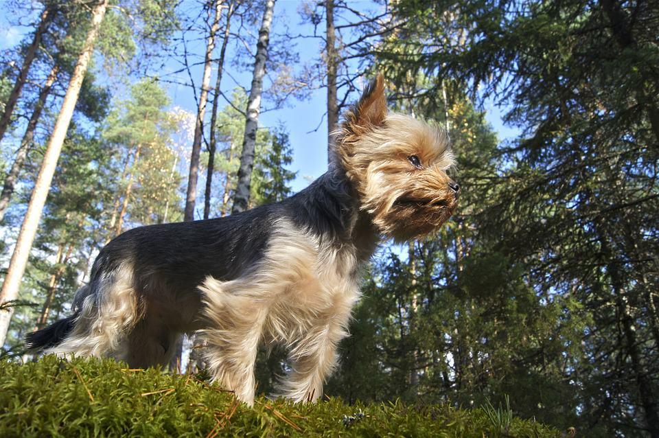 perro Yorkshire