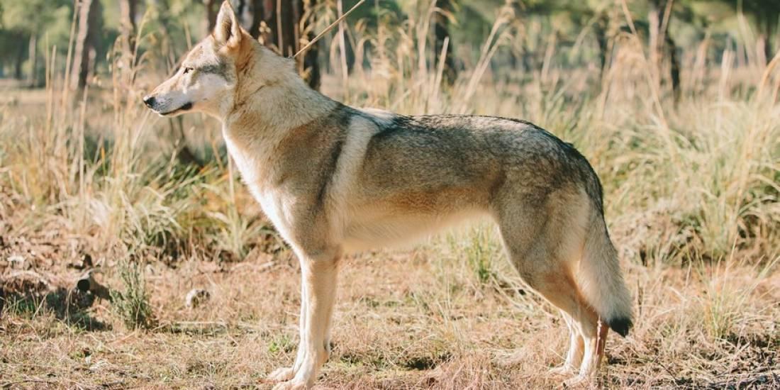 Perro-Lobo-Checoslovaco