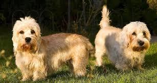 Dandie-Dinmont-Terrier